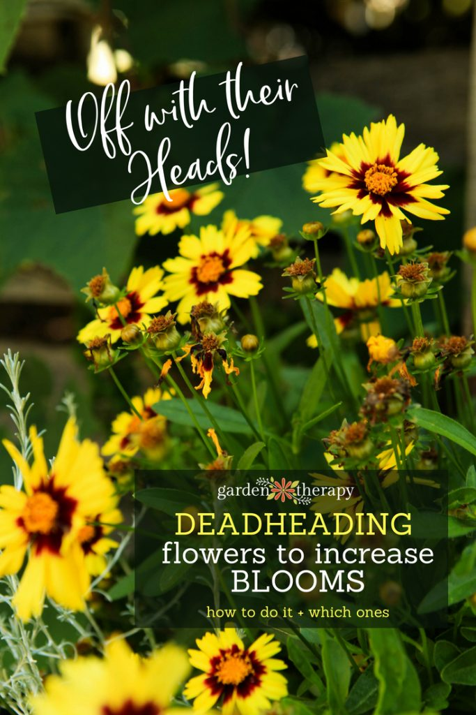 Deadheading Perennial and annual flowers to increase blooms