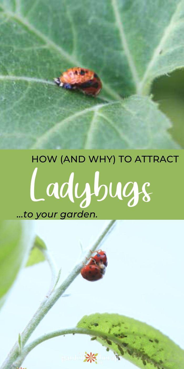 close up of a ladybug on a leaf