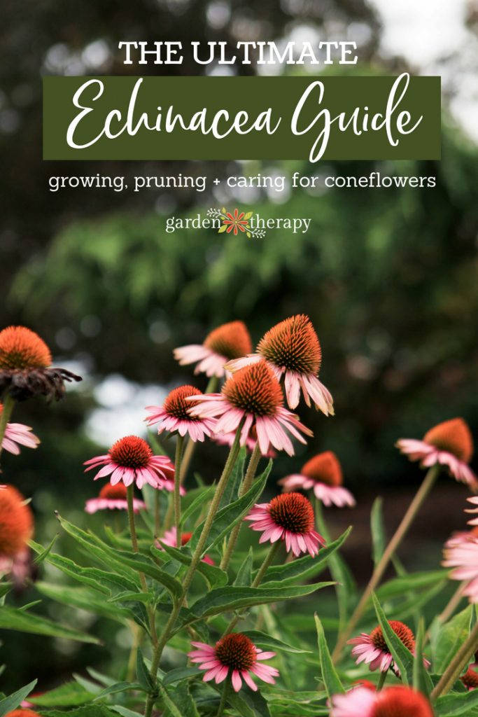 "Purple coneflowers with copy ""The Ultimate Echinacea Guide: Growing, Pruning + Caring for Coneflowers"""