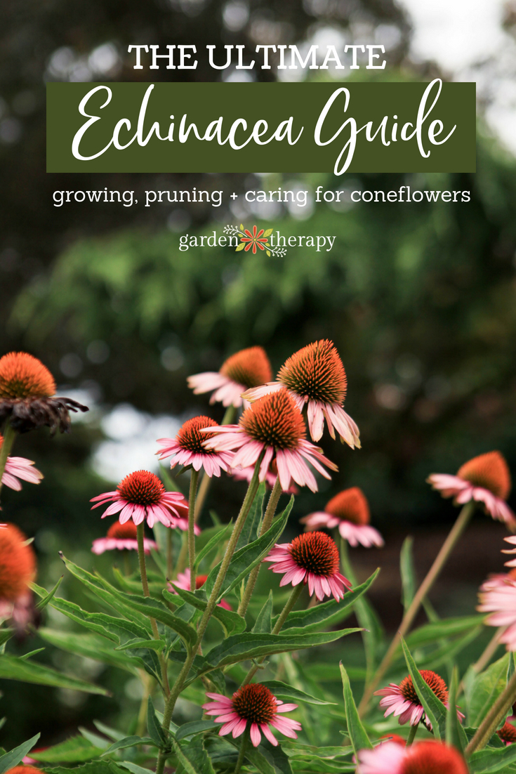 the ultimate guide to coneflowers