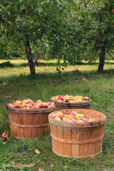 Three large baskets full of apples sitting on the grass in front of two apple trees