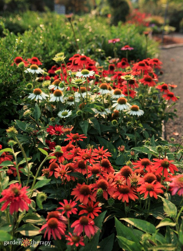 A garden bed full of blooming red and white echinacea flowers