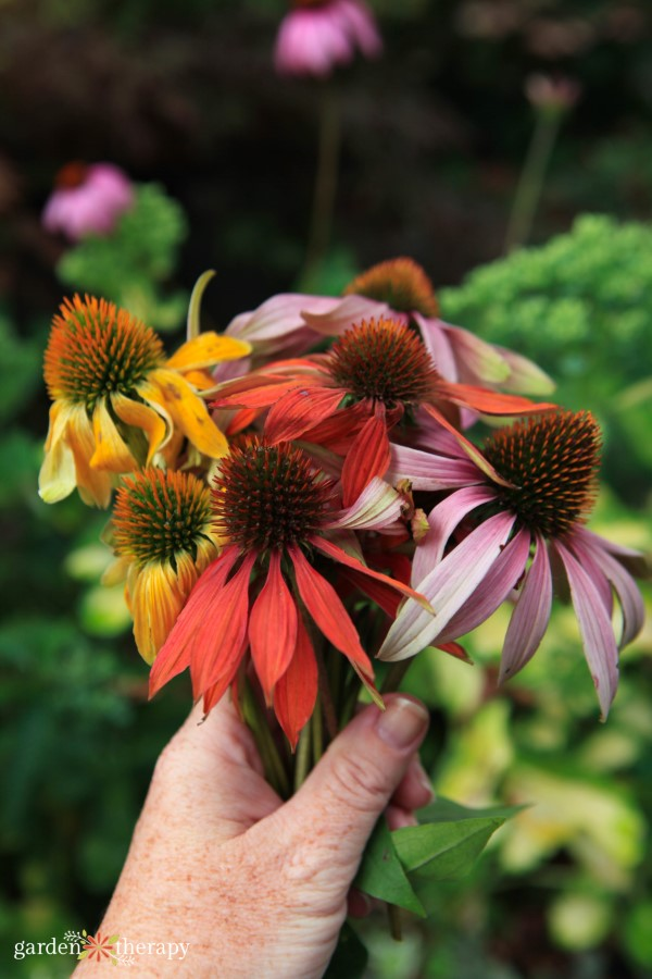 bouquet of various echinacea