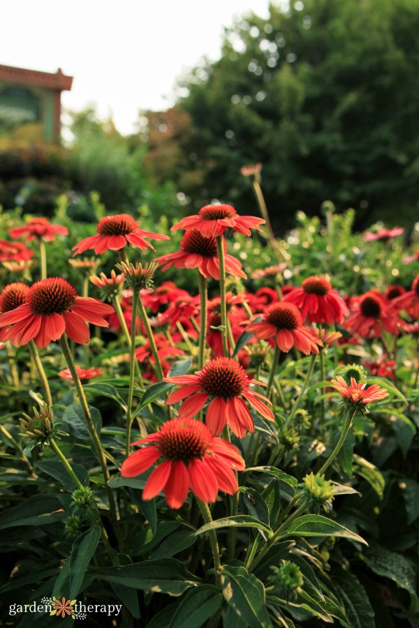 Bright red echinacea growing in a garden as part of a horticultural therapy garden