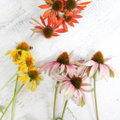 Echinacea Guide: Planting, Pruning and Caring for Coneflowers