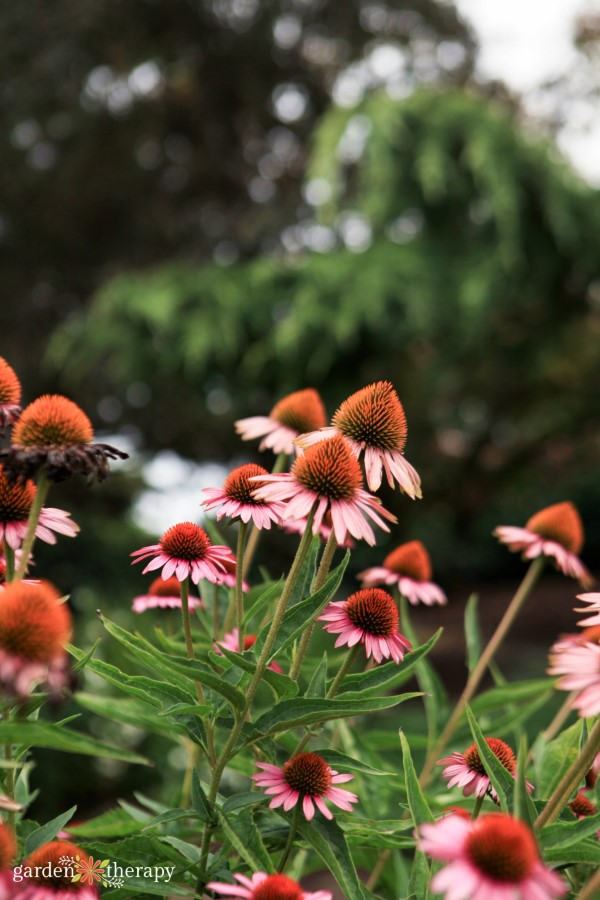 echinacea blooming in the garden