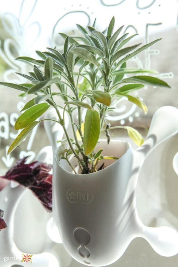 herbs growing on a window