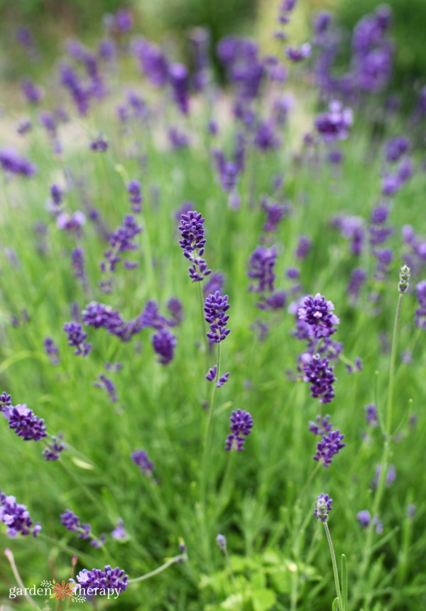 Lavender blooming in the dried flower arranging garden
