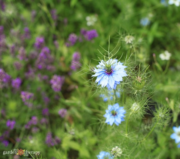 Nigella growing in front of lavender