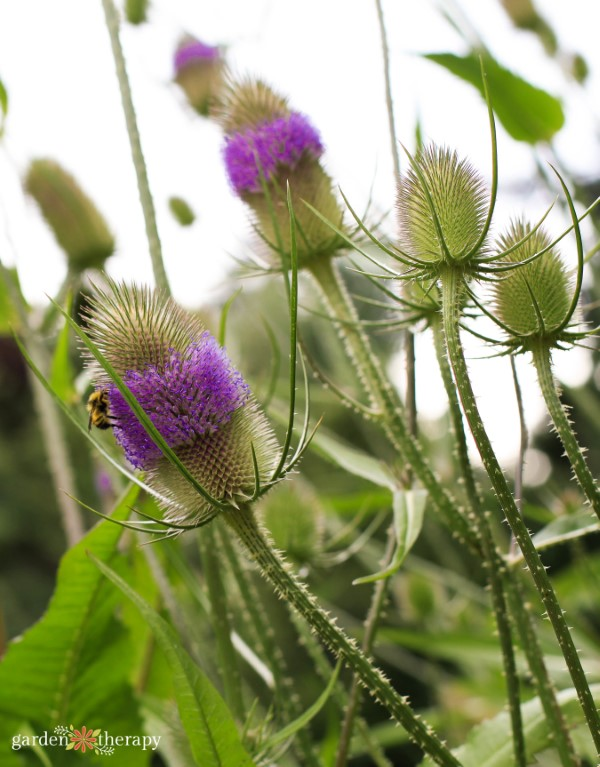A bee pollinating a wild teasel plant