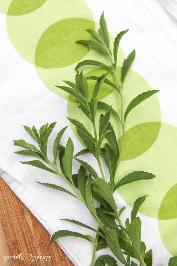 fresh sprigs of stevia from the garden