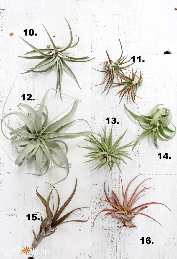 What Kind Of Tillandsia Do I Have Identify And Care For Common
