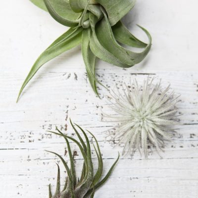 What Type of Air Plant do I have? Identify and Care for Common Varieties
