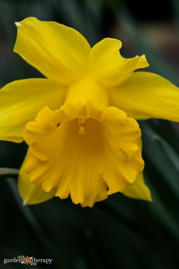 Close up of a yellow daffodil bloom