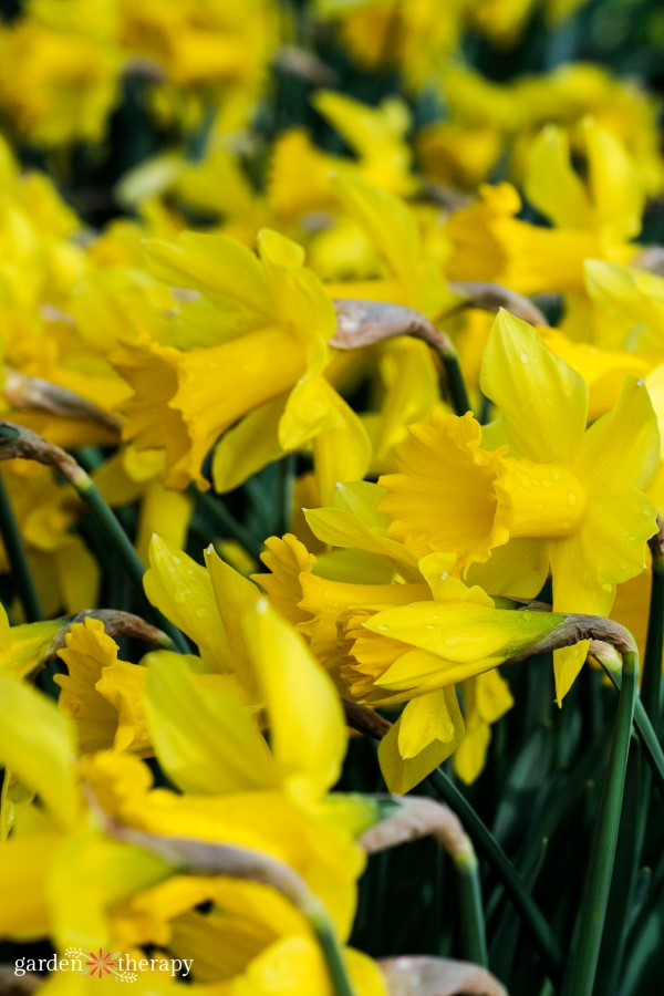 Rows of the daffodil flower