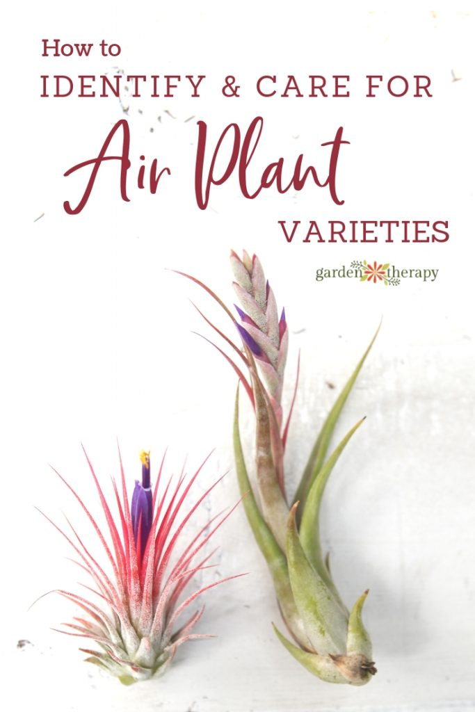 Air Plant Varieties. How to ID and care for different types of tillandsia.