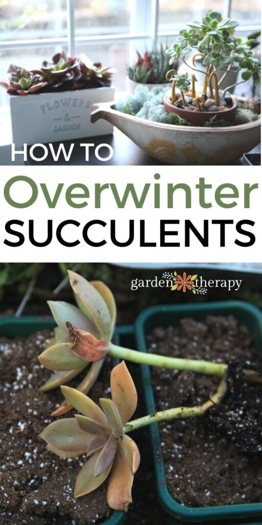 Succulents in winter outside and indoors in pots
