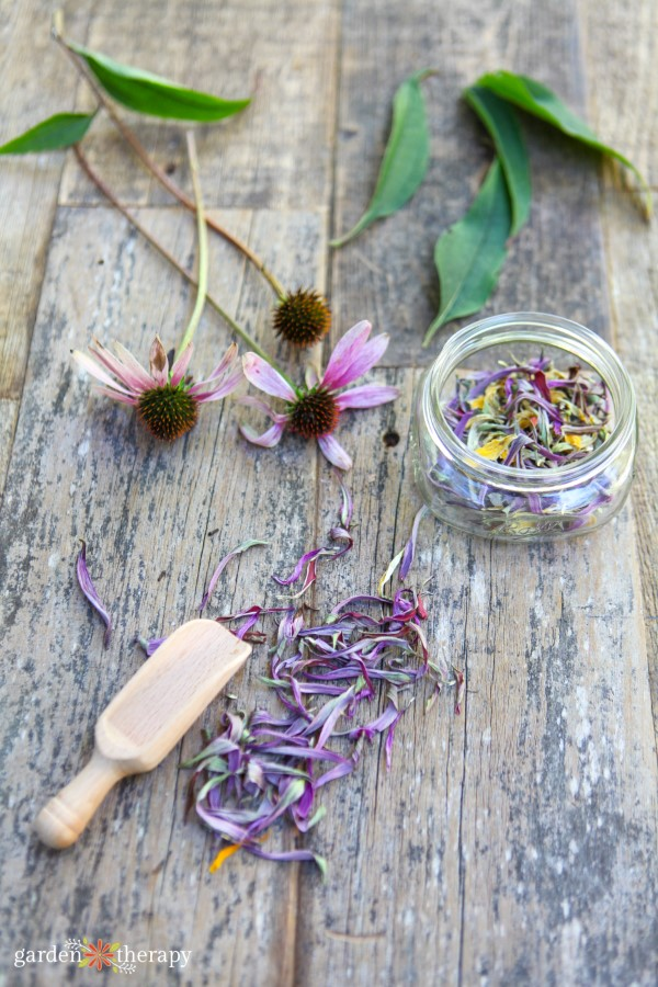 fresh echinacea flowers and dried echinacea petals