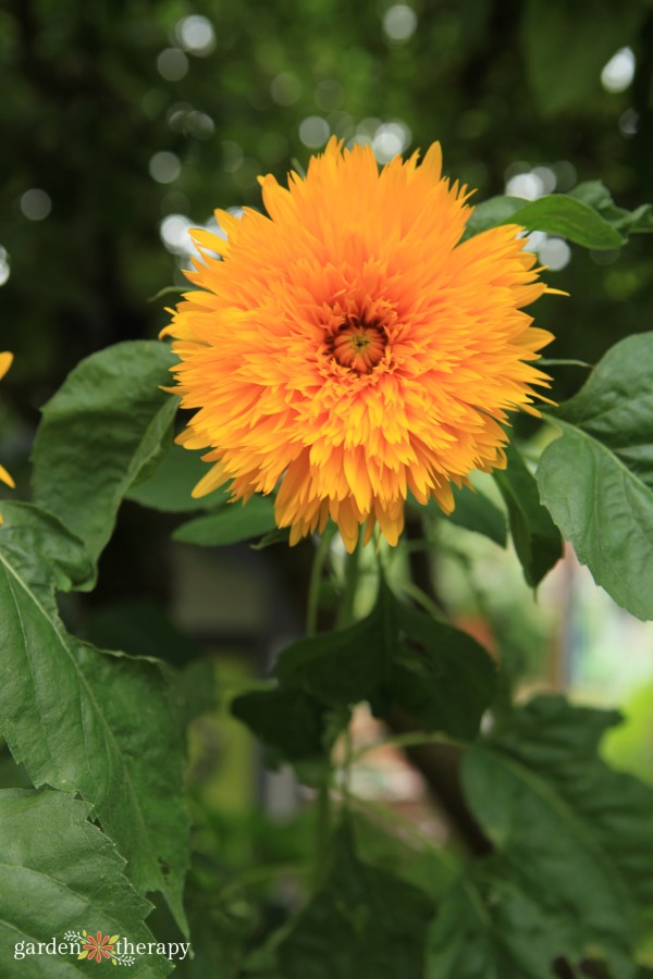 Gold double sunflower