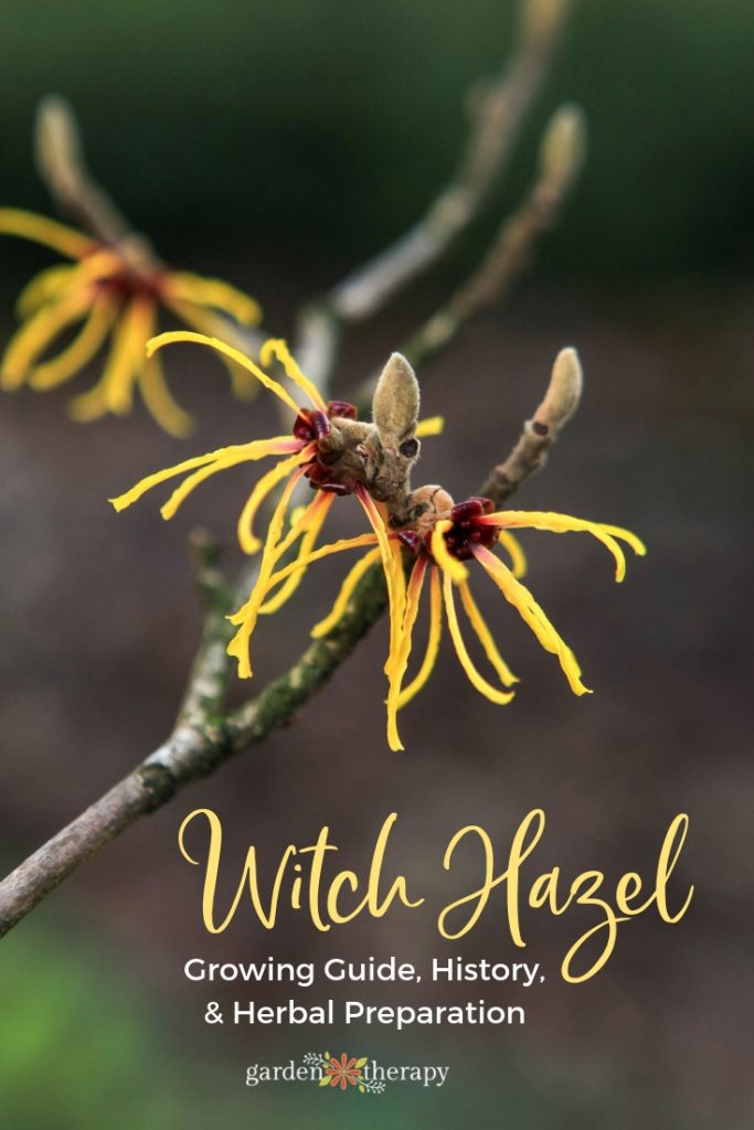 Witch Hazel Growing Guide and Herbal Preparation