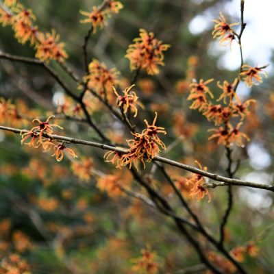 Wonderful Witch Hazel: a Gorgeous Garden Ornamental with Healing Skin Care Properties