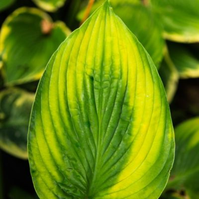 The Essential Guide to Growing Hostas, the Shade Garden Beauty