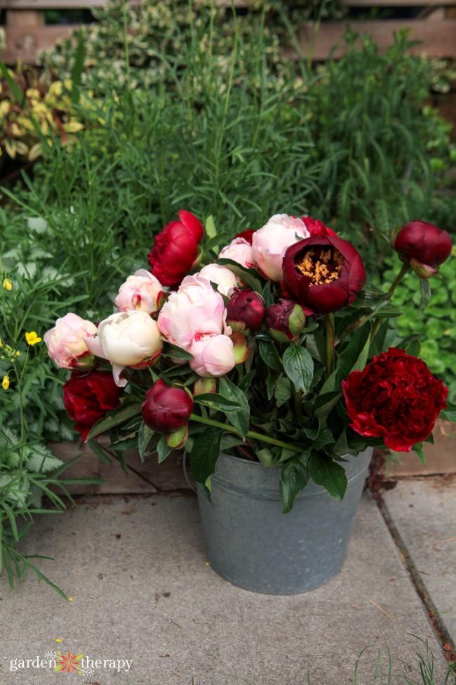 Bucket of cut peony flowers in a garden