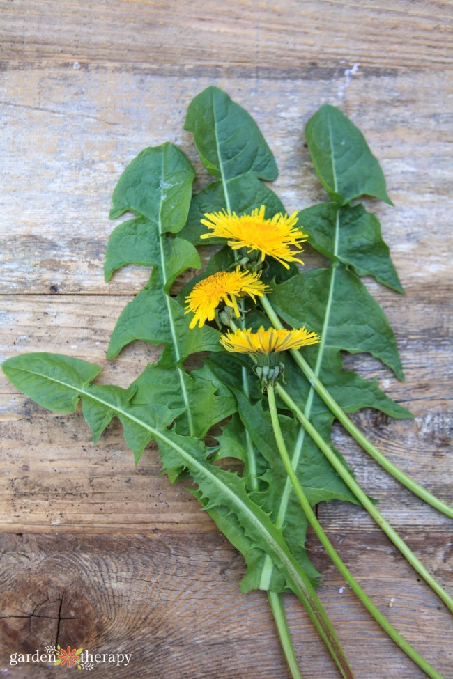 Dandelion leaves and flowers