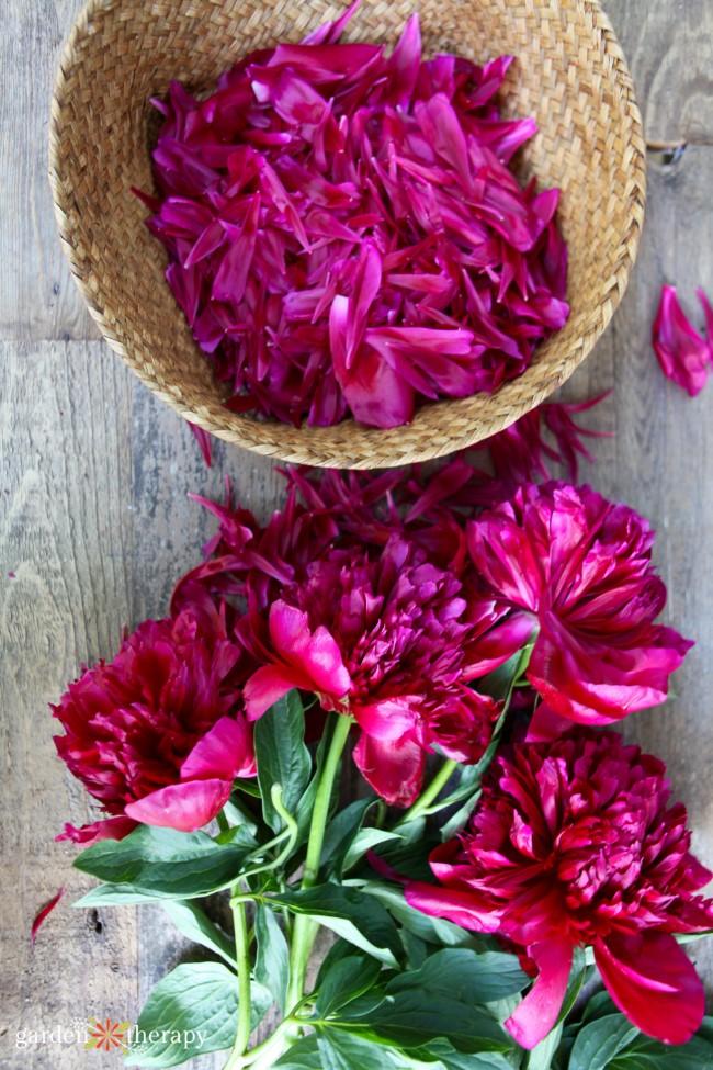 Harvesting Peony Petals