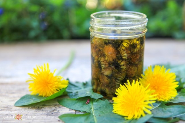 Jar of Dandelion Infused Oil