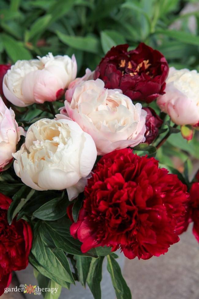Many different types of peonies