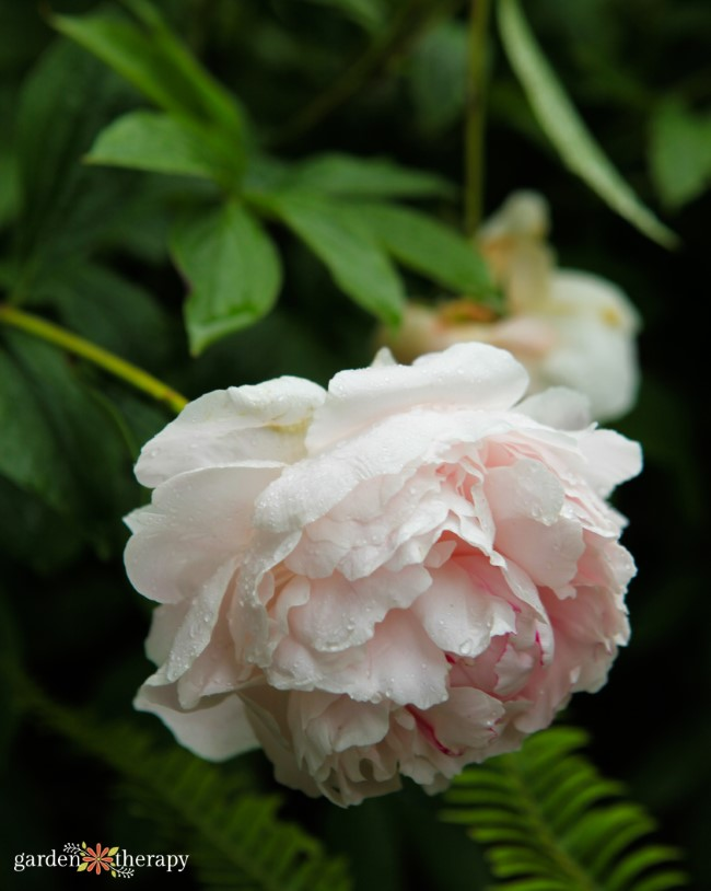 Pale Pink Double Peony