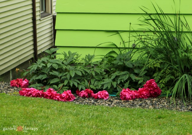 Peonies Flopped Over