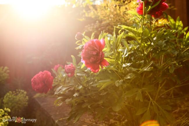 Peonies in the sun