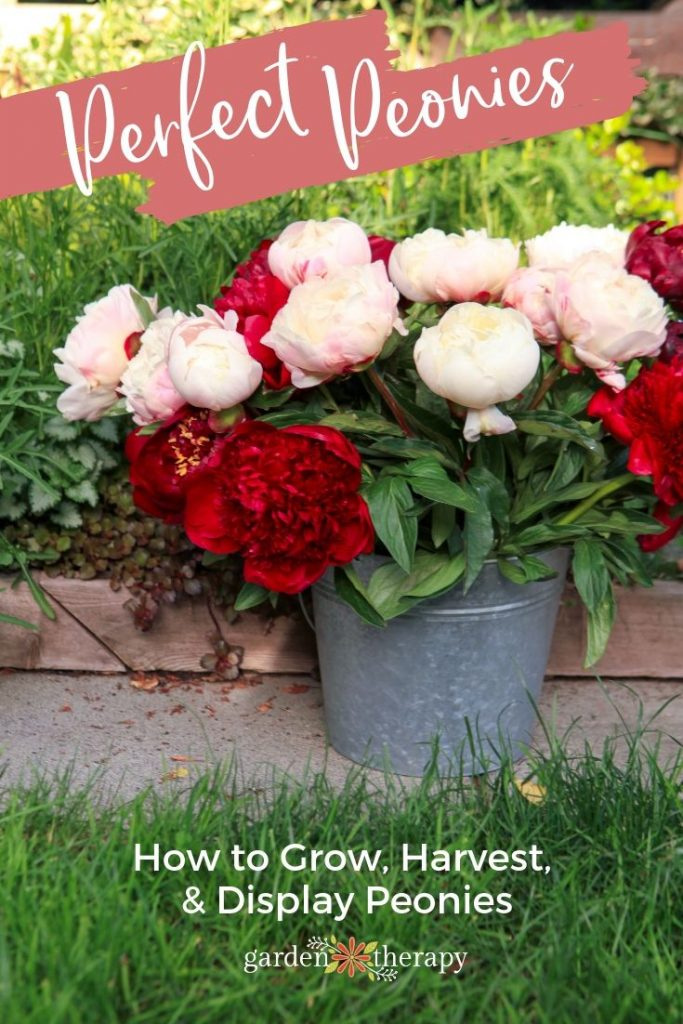 Perfect Peonies How to Grow, Harvest, and Dry Garden Peonies