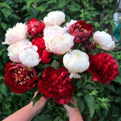 Perfect Peonies: How to Grow, Harvest, and Show Off Garden Peonies