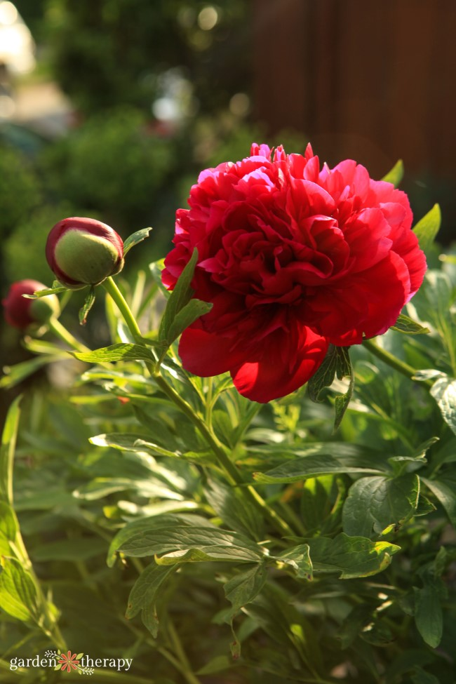 When to cut double bomb peonies