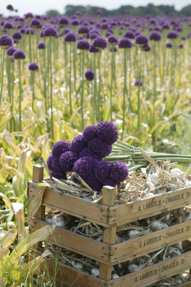 Allium farm