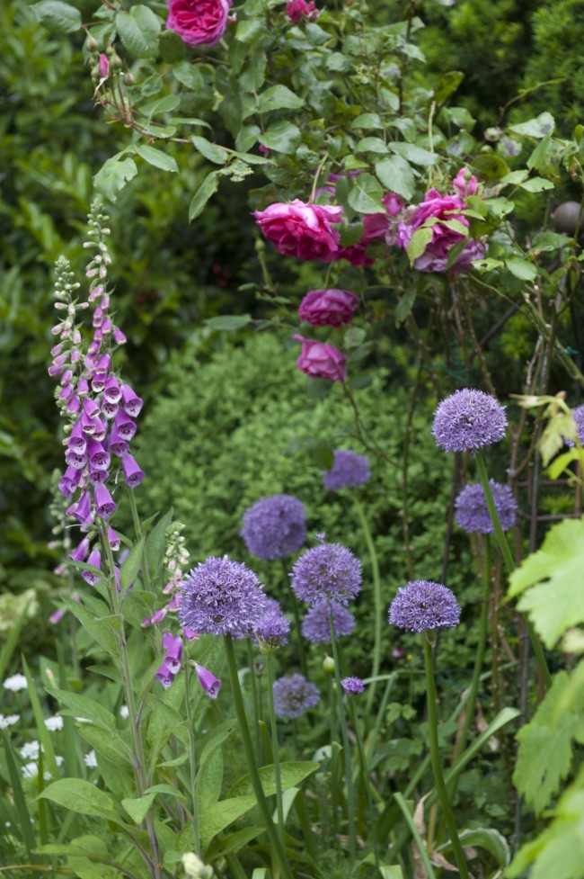 Garden with Alliums and Roses