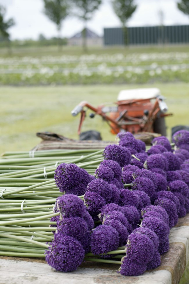 Harvested Alliums