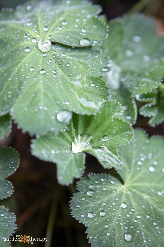 Lady's Mantle with water drops