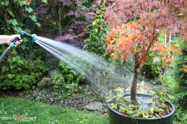 Watering Maple Tree in a large container