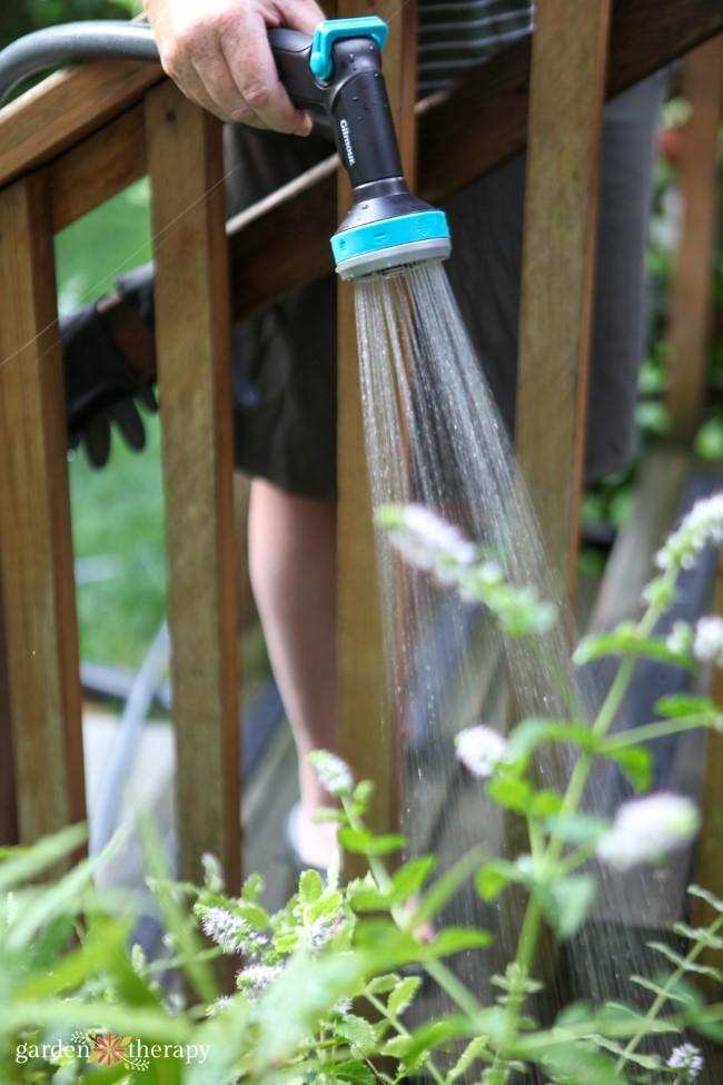 Watering the herb garden