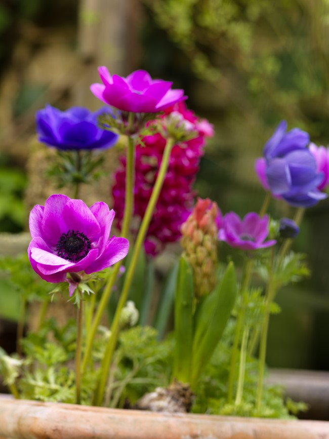 pink and purple anemone flowers