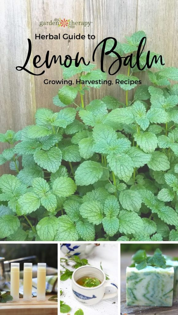 Herbal Guide to Lemon Balm: Grow, Harvest, and Use Melissa officinalis