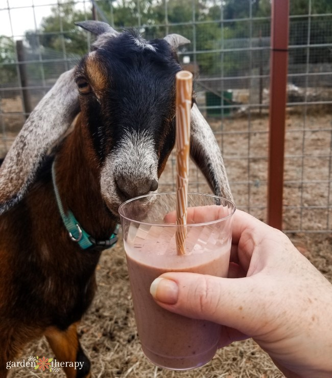 Goat and Smoothie
