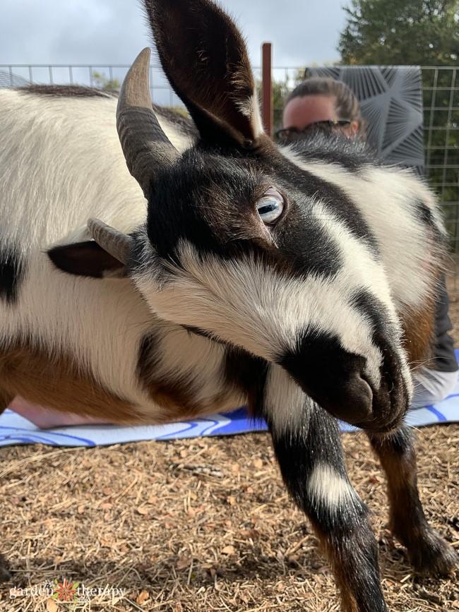 Kooky Goat Yoga
