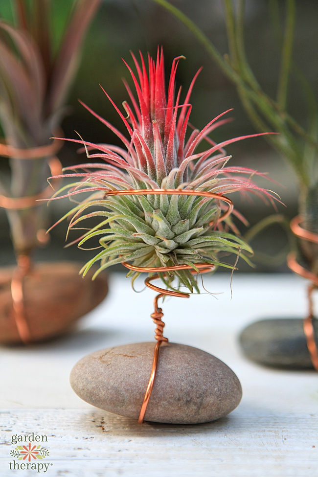 air plant with hot pink tips in a diy stand.