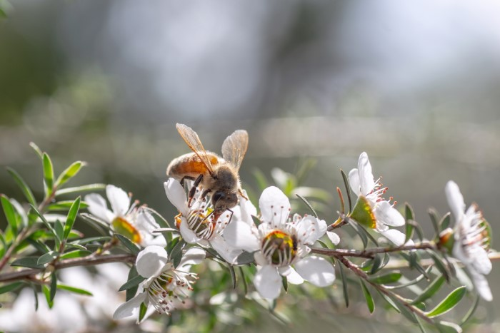 bee pollinating a manuka plant