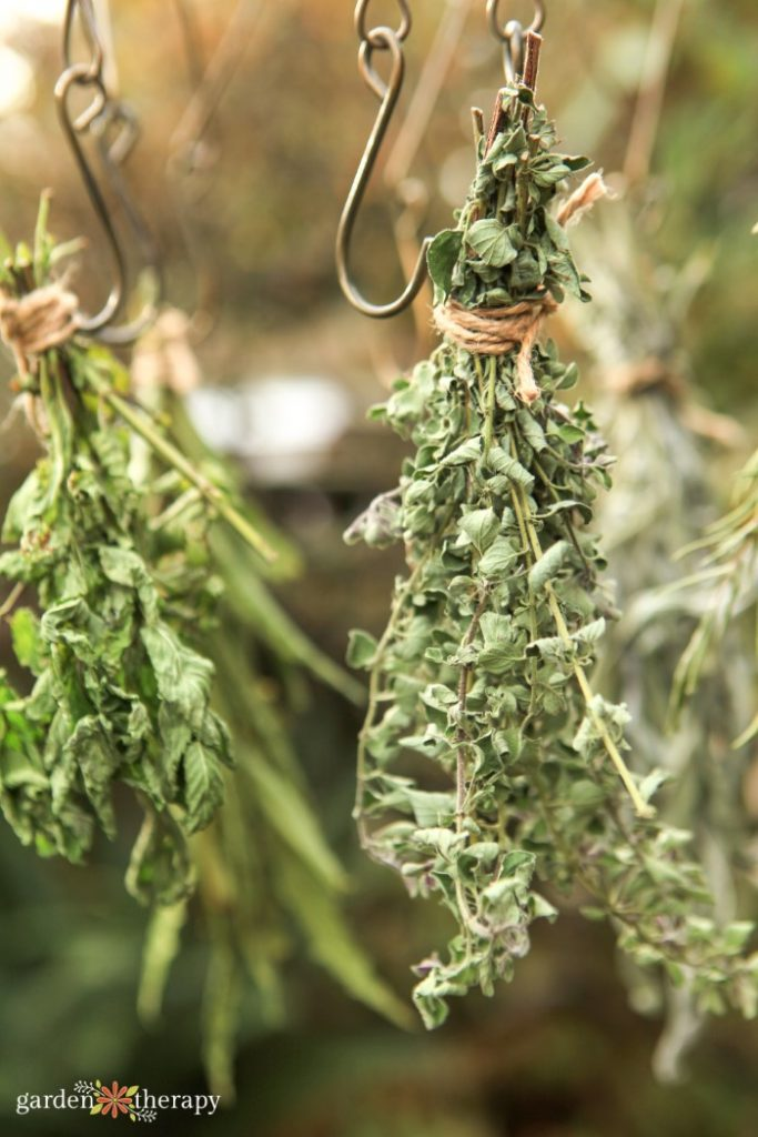 Oregano hanging from a drying rack